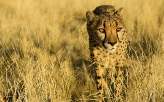 Cheetah in Namibia