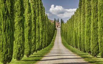 Tree lined avenue in Tuscany, Italy