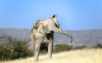 Elephant shaking mud