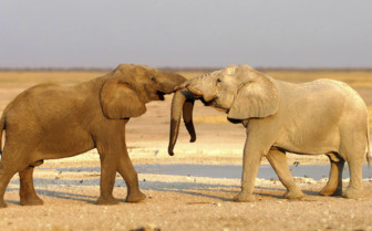 Bull elephants play fighting in the desert