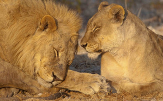 Contented lions in Etosha National Park