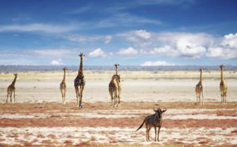 Giraffes in Namibia