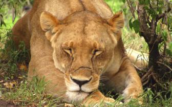 Namib desert lion