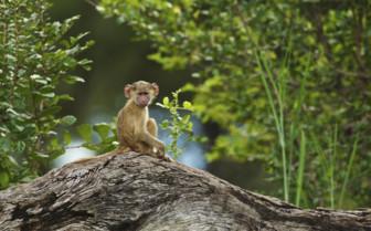 Little monkey on a rock