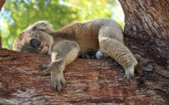 Koala, West Australia