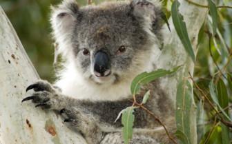 Koala, South Australia