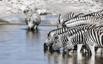 Zebra in the Lower Zambezi National Park
