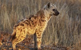 Hyena cub in Zambia