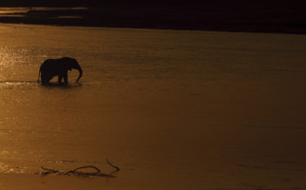 Elephant crosses Luangwa river