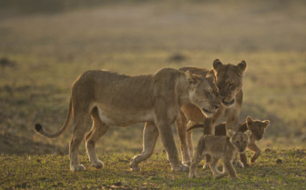 Mother lions with cubs in Africa