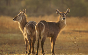 Luangwa national park wildlife
