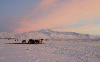 Icelandic ponies at sunset