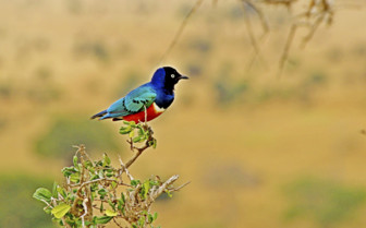 Bright bird in Kenya