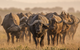 Herd of buffalo
