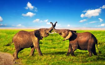 Elephants playing in Kenya