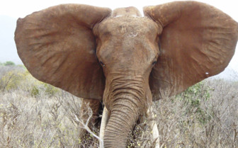 African elephant in Southern Kenya
