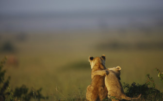 Lion cub friends in Kenya