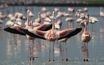 Flamingos in the Rift Valley