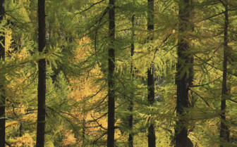 Illuminated golden larch forest