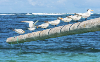 Royal terns on poles