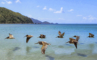 Flock of flying pelicans