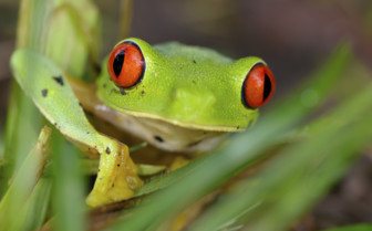 Belize Red Eye Tree Frog
