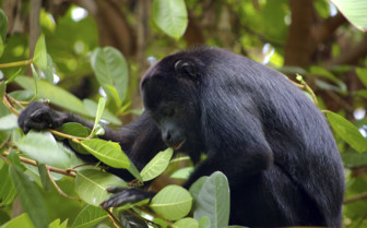 Howler Monkey Belize