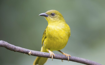 Olive Green Tanager Belize
