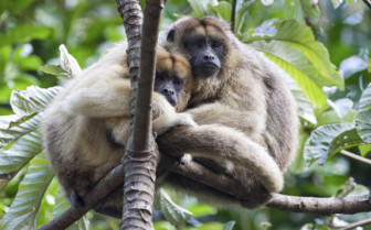 Belize Howler Monkeys