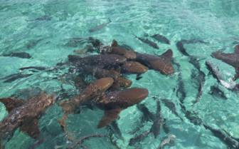 Amberges Caye Nurse Sharks Belize