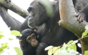 Western Tanzania Monkey