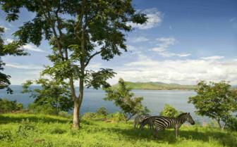 Western Tanzania Zebra Tanganyika