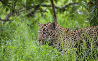 Lake Manyara Leopard