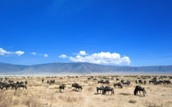 Wildebeest at the Crater