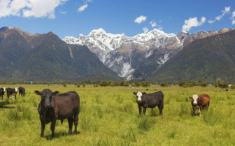 Cattle Grazing Canterbury Southern Alps