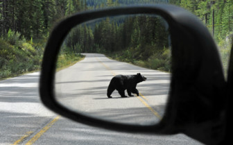 Black Bear in Wing Mirror