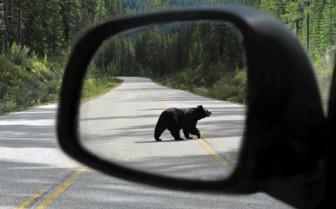 Black Bear in Wing Mirror