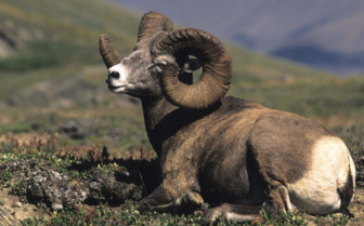 Rockies Goat