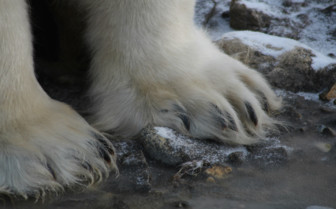 Polar Bear Feet