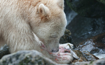 Spirit Bear Salmon Fishing in British Columbia