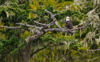 Bald Headed Eagle on Vancouver Island