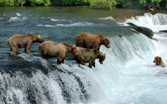 Grizzly Bears Salmon Fishing