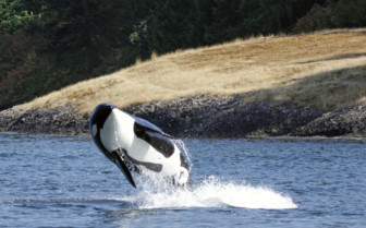 Orca at Tofino