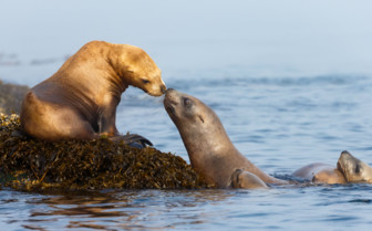Sea Lions on Vancouver Island