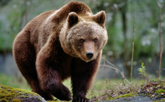 Brown Bear British Columbia