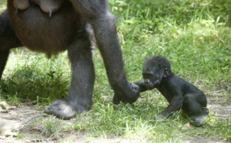 Baby Gorilla and Mother in Rwanda