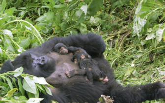 Gorilla Family Sleeping