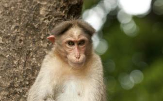 Monkey in Rwanda