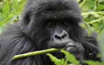 Gorilla Eating in Rwanda