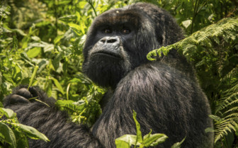 Rwanda Silverback